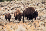 Yellowstone National Park, Wyoming, USA.  Family of bison in the Lamar Valley after an early Autumn snowfall.