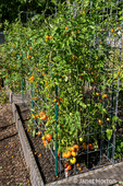 Issaquah, Washington, USA.  Bush Early Girl tomato plants in tomato cages growing in a raised bed garden.