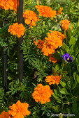 Marigolds and pansies beside wrought iron fence in a rural area