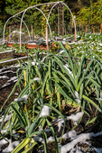 Issaquah, Washington, USA.  Over-wintering leeks covered by snow in a community garden.