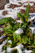 Issaquah, Washington, USA.  Bright Lights Swiss Chard covered by snow in a community garden.