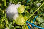Issaquah, Washington, USA.  Tomatillos growing in a tomato cage covered by snow in a community garden.