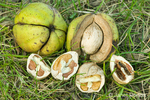 Shagbark Hickory nuts some with and without husk, and some cracked in half