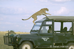 """Princess"" Cheetah jumping onto safari vehicle which she used as a lookout for prey."