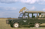 """Princess"" Cheetah jumping down from top of safari vehicle which she used as a lookout for prey."
