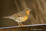 Female Varied Thrush perched on the back of a bench in winter in my backyard