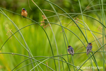 Issaquah, Washington, USA.  Barn Swallows perched on reeds in a pond.