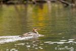 Issaquah, Washington, USA.  Juvenile Common Merganser swimming.