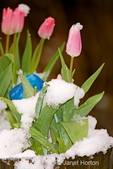 Snow-covered planter of tulips with mushroom sculpture in my backyard in early spring