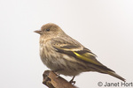 Male Pine Siskin perched on a log.