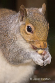 Close-up of a Western Grey Squirrel eating peanuts in my backyard.