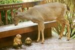 Mule deer doe eating birdseed from a bench in my backyard