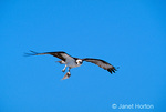 Osprey adult flying with fish in talons, with blue sky background