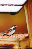 Chestnut-backed Chickadee eating peanuts from a bird feeder in the winter in my backyard