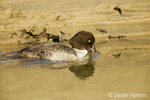 Female Barrow's Goldeneye swimming in a stream, with its beak in the water searching for food