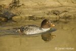 Female Barrow's Goldeneye swimming in a stream