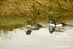 Male and Female Barrow's Goldeneye swimming in a pond