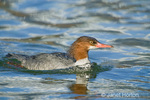 Adult female Common Merganser, swimming in a stream