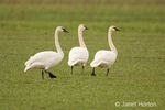 Three Trumpeter Swans walking in a field.