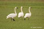 Three Trumpeter Swans walking in a field.