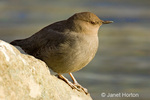 Female Brewer's Blackbird sitting on rock by a river