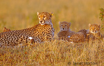 Cheetah mom with 3 babies in early morning sunrise