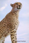 Close-up of Cheetah (Princess) sitting on top of our Safari vehicle.