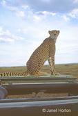 Cheetah (Princess) sitting on top of our Safari vehicle.