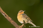 Female Varied Thrush (Ixoreus naevius) perched on a branch in winter in my backyard 