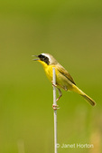 Common Yellowthroat perched on cattails