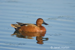 Male Cinnamon Teal swimming in a pond