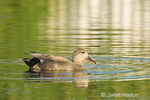 Female Gadwall swimming in a pond