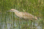 American Bittern hunting for food in the marsh