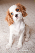 Female Cavalier King Charles Spaniel, Mandy, at 15 weeks old, sitting on the carpet with her head cocked