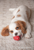 Female Cavalier King Charles Spaniel, Mandy, at 15 weeks old, lying on the carpet with her red Kong toy