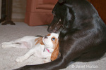 Large labrador mix dog, Norbert, playing with female Cavalier King Charles Spaniel, Mandy, who was 15 weeks old
