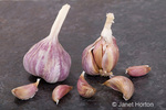 Unopened and partially opened Purple Stripe Garlic bulbs standing up and cloves from it lying down, on a tile surface