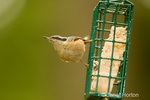 Red-breasted Nuthatch perched on a wire basket suet feeder in my backyard