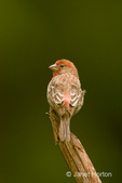 Male House Finch perched on end of log in my backyard