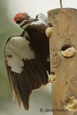 Pileated Woodpecker (Drycopus pileatus) with wings spread eating on a log suet feeder in my backyard.