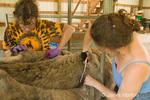 Women (Barbara and Marilyn) shearing a llama, Irish Soul