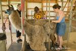 Women (Camille, Barbara and Marilyn) shearing a llama, Irish Soul