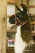 Llama, Anuska Hemple, with a harness on, standing in the barn prior to shearing at a farm owned by Jerry & Camille Brusachetti