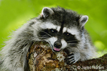 A mother raccoon growling in a tree, protecting her young, in a rural residential area