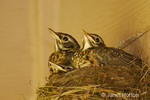 Baby American Robins in a nest in a barn