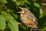 Fledgling juvenile American Robin (Turdus migratorius) sitting on a branch, begging its parents to come and feed it