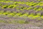 English Lavender at the Pelindaba Lavender Farm
