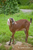 Nubian Goat standing in the field at a small urban farm in a large suburban city