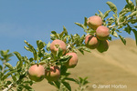 Fuji apples growing on the tree in Wilson Banner Ranch