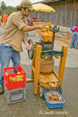 Man throwing apple into apple grinder in cider mill to make apple cider, with a person watching, at Fall City Farms